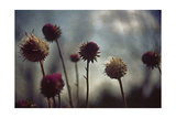 Thistledown in Subtle Light Photographic Print by George Oze