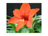 Orange Lilly II Photographic Print by Herb Dickinson