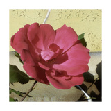Knock Out Rose Photographic Print by Herb Dickinson