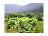 Mountain Vineyard Photographic Print by Herb Dickinson
