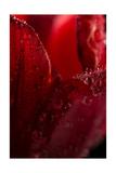 Red Tulip Photographic Print by Steve Gadomski