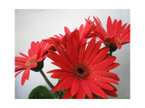 Red Gerbers II Photographic Print by Herb Dickinson