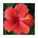 Hibiscus Bloom Photographic Print by Herb Dickinson