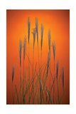 Fountain Grass In Orange Photographic Print by Steve Gadomski