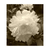 Delicate Blossom Fotografie-Druck von Herb Dickinson