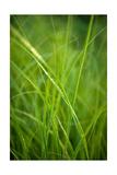 Green Prairie Grass Photographic Print by Steve Gadomski