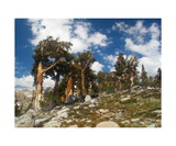 Foxtail Pines In Nine Lakes Basin Photographic Print by Ronald A Dahlquist