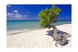 Lone Divi Tree on a Beach, Aruba Photographic Print by George Oze