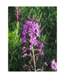 Fireweed Photographic Print by Ronald A Dahlquist