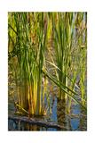 Pond Grasses Photographic Print by Steve Gadomski