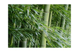 Bamboo Forest Photographic Print by Herb Dickinson