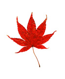 Japanese Red Maple Leaf, Isolated On White Photographic Print by Annmarie Young