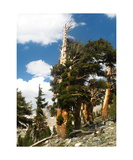 Foxtail Pine In Nine Lakes Basin Photographic Print by Ronald A Dahlquist