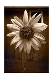 Sunflower Farm B W Photographic Print by Steve Gadomski