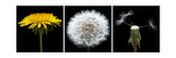 Dandelion Life Cycle Photographic Print by Steve Gadomski