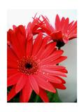 Red Gerber I Reproduction photographique par Herb Dickinson