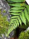 Ferns near Lake Moeraki, West Coast, South Island, New Zealand Prints by David Wall