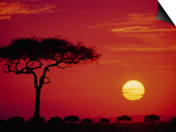 Wildebeest Migration, Masai Mara, Kenya Posters af Dee Ann Pederson