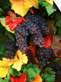 View of Pinot Noir Grape, Willamette Valley, Oregon, USA Prints by Stuart Westmorland