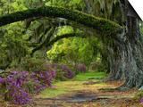 Coast Live Oaks and Azaleas Blossom, Magnolia Plantation, Charleston, South Carolina, Usa Poster von Adam Jones
