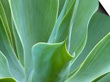Agave Plant, Maui, Hawaii, USA Prints by Julie Eggers