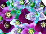 Heliborus Pattern of Winter Blooming Flower, Sammamish, Washington, USA Prints by Darrell Gulin