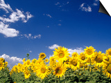 Sunflowers, Colorado, USA Prints by Terry Eggers