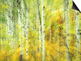 Aspens in Fall, Kebler Pass, Colorado, USA Print by Darrell Gulin