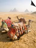 Resting Camels Gaze Across the Desert Sands of Giza, Cairo, Egypt Prints by Dave Bartruff
