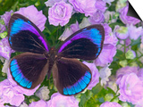 Blue and Black Butterfly on Lavender Flowers, Sammamish, Washington, USA Prints by Darrell Gulin