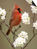 Male Northern Cardinal Affiches par Adam Jones