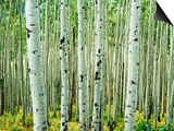 Bigtooth Aspen Trees in White River National Forest near Aspen, Colorado, USA Posters by Tom Haseltine
