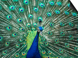 Peacock Spreading Colorful Feathers Posters by Bill Bachmann