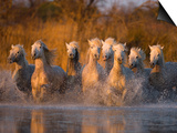 White Camargue Horse Running in Water, Provence, France Prints by Jim Zuckerman