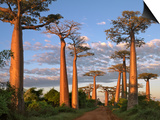 Avenue of Baobabs at Sunrise Poster by Nigel Pavitt