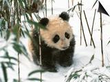 Panda Cub on Snow, Wolong, Sichuan, China Print by Keren Su