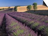 Lavender Field, Provence, France Prints by Gavriel Jecan