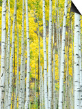Aspen Grove, White River National Forest, Colorado, USA Prints by Rob Tilley