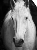 White Horse'S Black And White Art Portrait Posters by  kasto