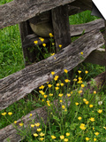 Rail Fence and Buttercups, Pioneer Homestead, Great Smoky Mountains National Park, N. Carolina, USA Posters by Adam Jones