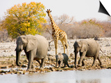 African Elephants and Giraffe at Watering Hole, Namibia Affischer av Joe Restuccia III