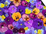 Pansy Flowers Floating in Bird Bath with Dew Drops, Sammamish, Washington, USA Print by Darrell Gulin