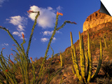 Organ Pipe Cactus with Ocotillo, Organ Pipe Cactus National Monument, Arizona, USA Poster by Jamie & Judy Wild
