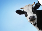 Funny Smiling Black And White Cow On Blue Clear Background Poster by Dudarev Mikhail