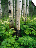 Quaking Aspen and Cow Parsnip, White River National Forest, Colorado, USA Posters by Adam Jones