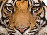 Bengal Tiger, (Panthera Tigris Tigris), Bandhavgarh, Madhya Pradesh, India Plakaty autor Thorsten Milse