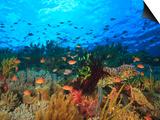Schooling Anthias Fish, Wetar Island, Banda Sea, Indonesia Plakat autor Stuart Westmorland