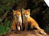 Red Fox near Den Entrance Prints by Adam Jones