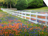 Texas Bluebonnets and Paintbrush Along White Fence Line, Texas, USA Art by Julie Eggers