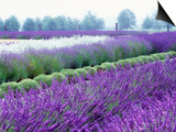 Lavender Field, Sequim, Washington, USA Posters by Janell Davidson